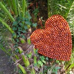 COEUR DU JARDIN - cycad fruit