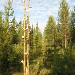 REINDEER TOTEM - double pine trunk, reindeer bones